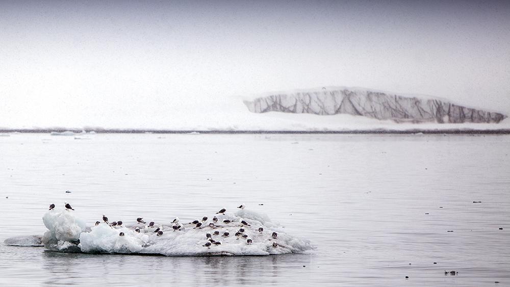 Kittiwakes on the Ice, Svalbard ©-Marcel Schütz-2020