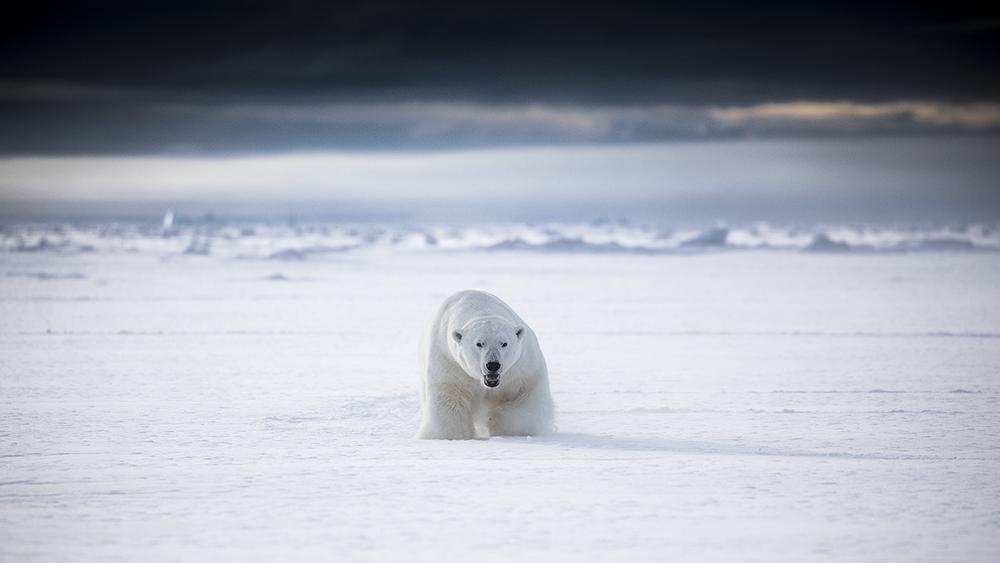 Polar Bear, Marcel Schütz ©-Marcel Schütz-2020
