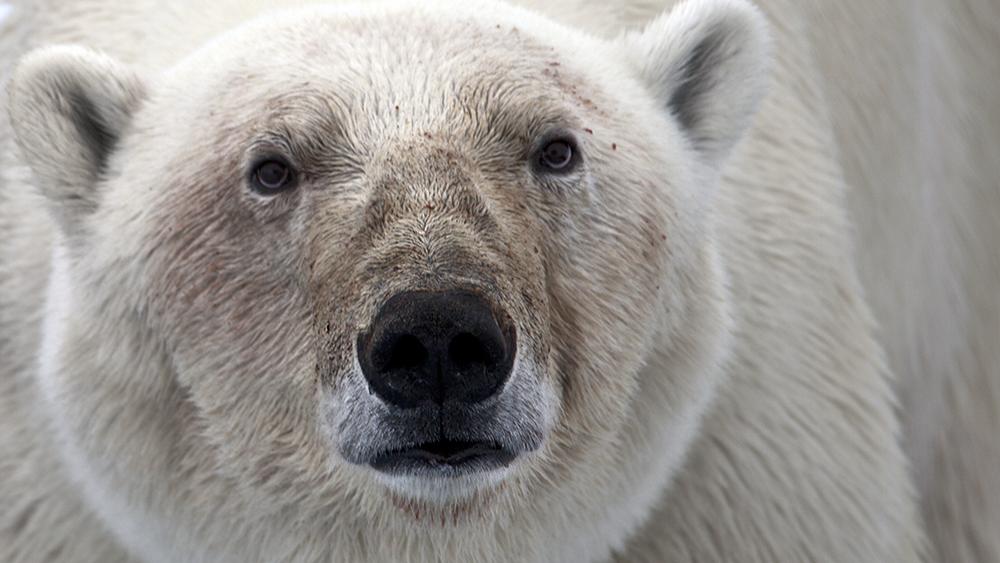 Polar Bear Safari, Svalbard ©-Marcel Schütz-2020