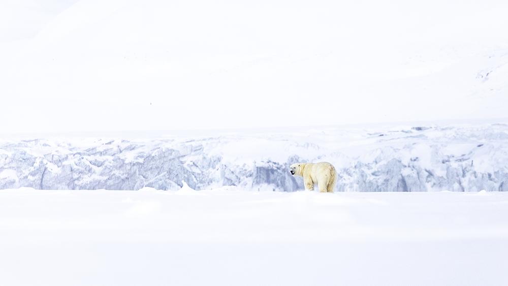 Polar Bear at Svalbards East Coast ©-Marcel Schütz-2020