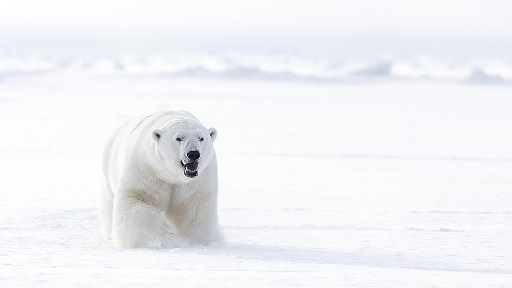 Polar Bear at the east Coast of Svalbard ©-Marcel Schütz-2020