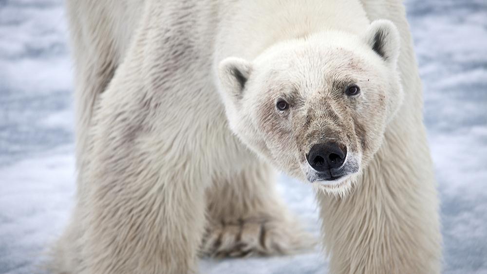 Polar Bear on the ice ©-Marcel Schütz-2020