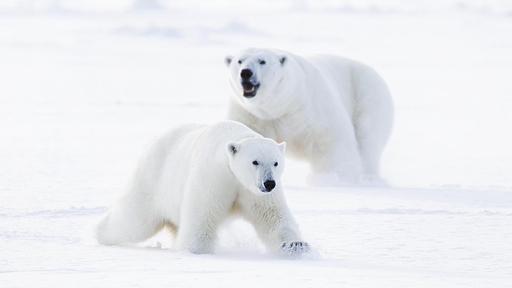 Polar Bears in love ©-Marcel Schütz-2020