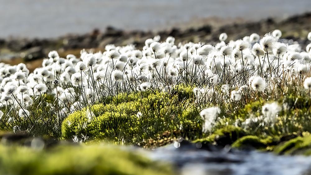 Polarcottonflower ©-Marcel Schütz-2020