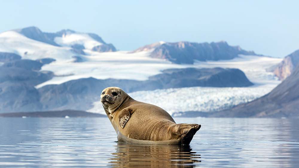 Seal in Svalbard ©-Marcel Schütz-2020