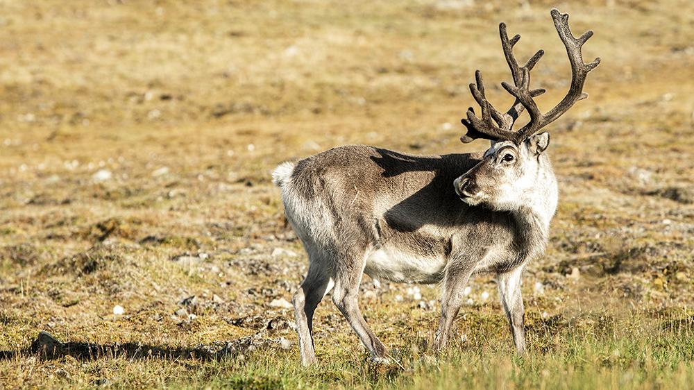Svalbard Reindeer ©-Marcel Schütz-2020