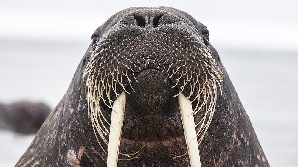 Walrus in Svalbard ©-Marcel Schütz-2020
