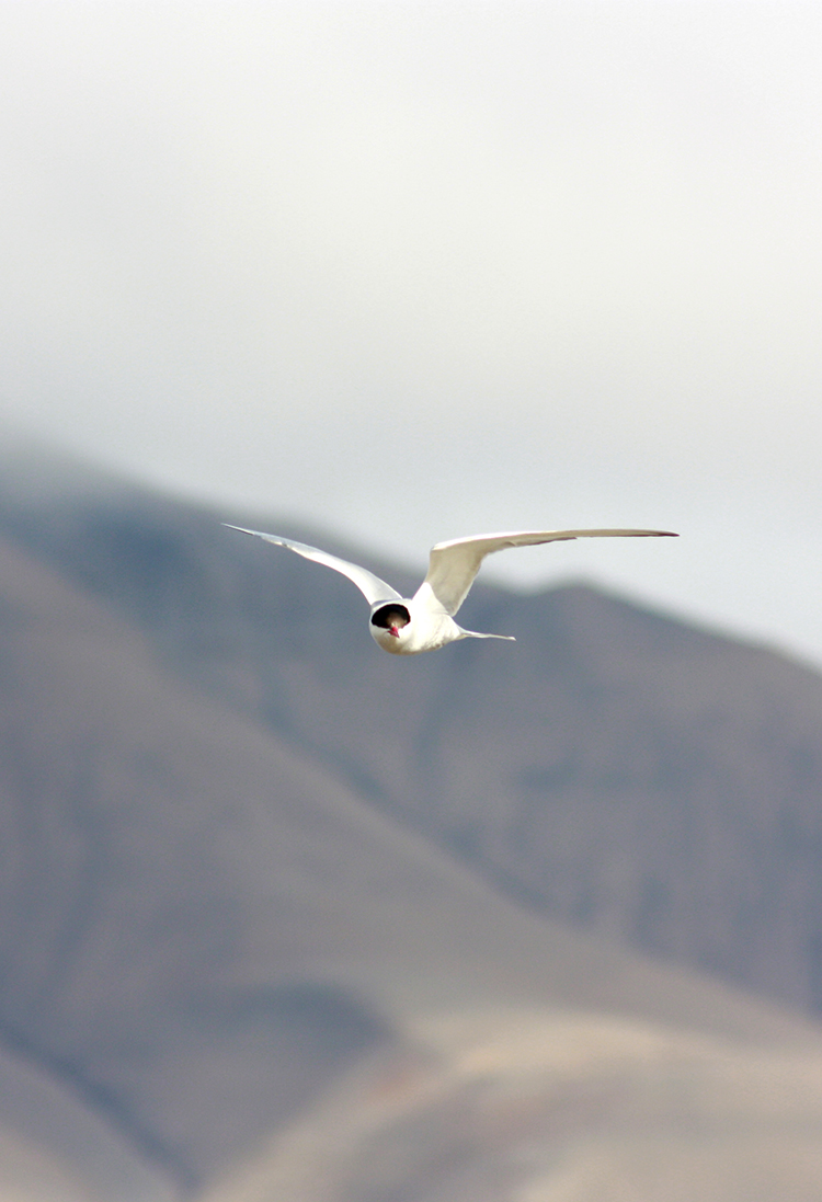 Arctic Tern in Longyearbyen ©-Marcel Schütz-2020