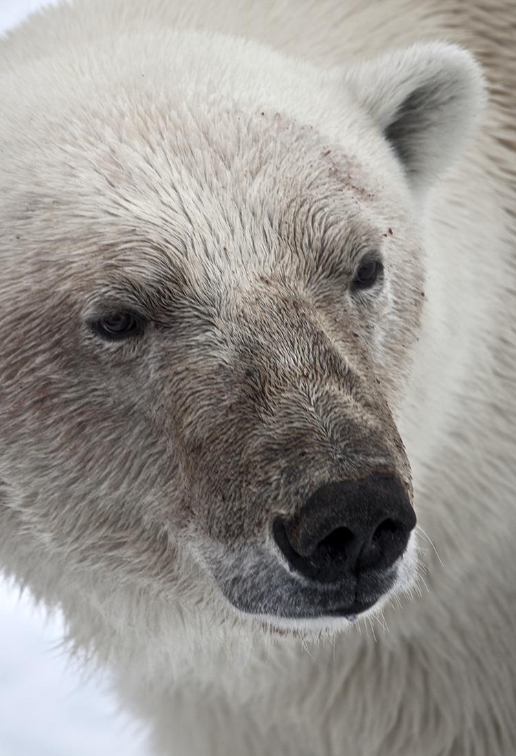 Polar Bear on Spitsbergen ©-Marcel Schütz-2020