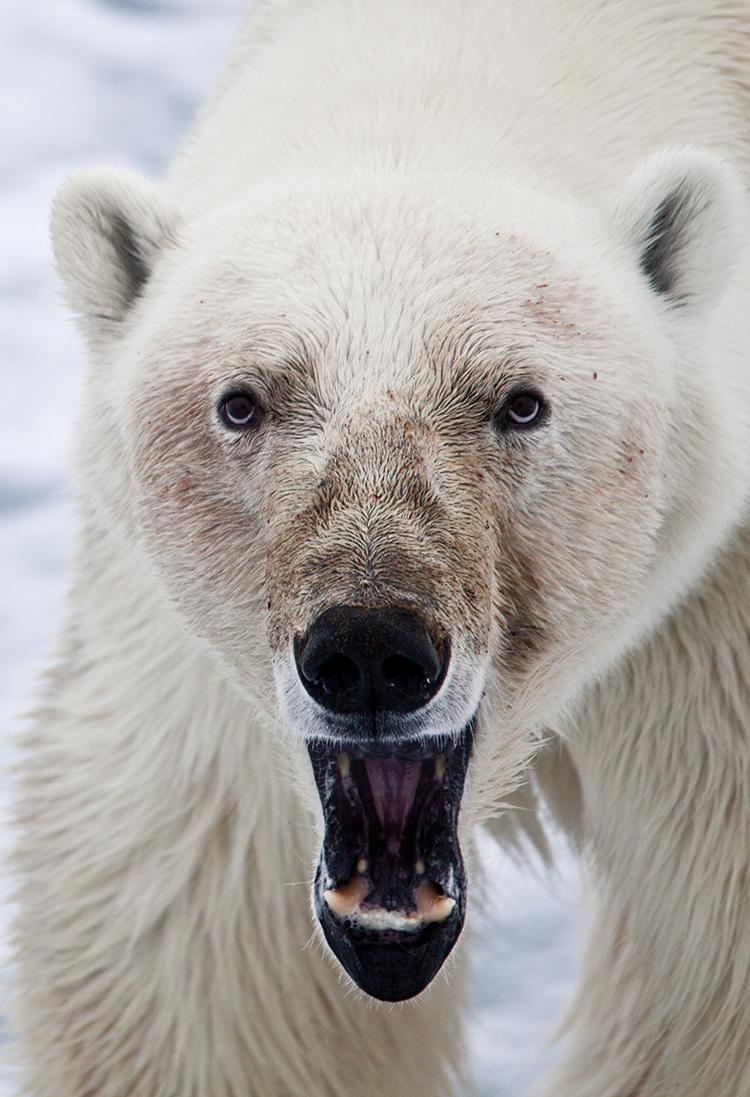 Polar Bear on driftice in Svalbard ©-Marcel Schütz-2020