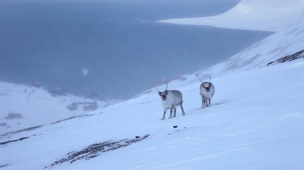 Svalbardrein på Sukkertoppen ©-Marcel Schütz-2020
